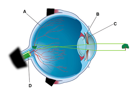 This figure shows a side view of the internal anatomy of the eyeball. The eyeball has an outer white covering. At the front of the eye, the white tissue transitions into a clear tissue that covers the blue-colored part of the eye. The back of the eye has a tubelike projection containing yellow tissue and blood vessels. Letter A indicates yellow-colored tissue that lines the inside surface of the back of the eye. The yellow-colored tissue runs from the back of the eye up along the inside of the tubelike projection. Letter B indicates a clear disc near the front of the eye, just behind the structure that gives the eye its blue color. Letter C indicates the blue-colored structure of the eye, which surrounds a black hole. Letter D indicates the tubelike projection at the back of the eye.