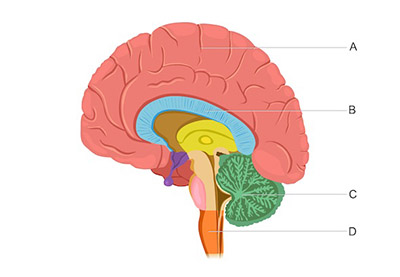 This diagram shows the human brain. Letter A indicates the largest and most superior region of the brain that contains many small ridges. Letter B indicates a small, horseshoe-shaped region just under region A. Letter C indicates a cauliflower- shaped region at the base of the brain on the posterior side. Letter D indicates the stalklike region at the base of the brain, just above where the brain connects to the spinal cord.
