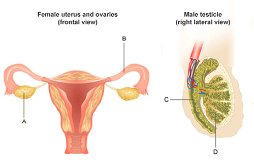 The diagram depicts a frontal view of the female uterus and ovaries and a lateral view of the male testicle. Letter A points to an elliptical shaped organ on the left side of the uterus and ovaries image and the Letter B points to a tube like structure on the right side of the uterus and ovaries image. Letter C points to a tube like structure that connects to the coiled region at letter D.