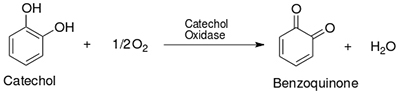This figure shows the chemical structures and equation of an enzyme-catalyzed reaction. Catechol is a ring-shaped molecule that contains two OH groups. Catechol reacts with one half of an O2 molecule to form benzoquinone plus H2O. Catechol oxidase is written above the rightward-pointing arrow in the reaction equation.