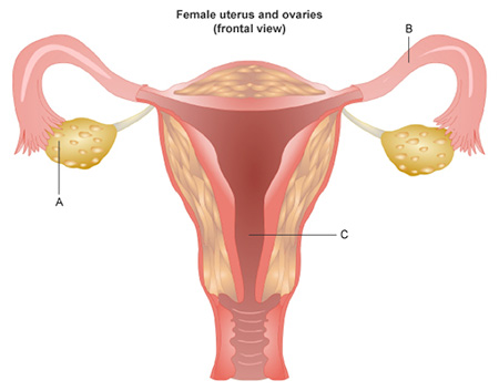 The left half of this diagram shows a front view of the female reproductive system. It shows a pink, roughly heart-shaped organ with a large canal extending out of its inferior side. In addition, two smaller tubes extend outward from it