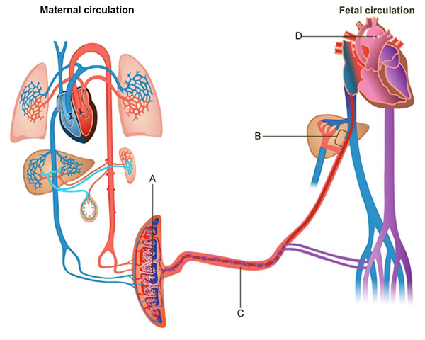 This is a two-part diagram showing maternal circulation on the left and fetal circulation on the right. Letter A indicates a large crescent-shaped organ that contains blood from the maternal circulation and blood from the fetal circulation. A large tube containing arteries and veins extends out from the crescent-shaped organ into the fetal circulatory system. The tube is labeled letter C. Letter B indicates a junction within the fetal circulatory system at which an artery from the tube indicated by letter C connects with a large blue vein extending down from the heart. This connection occurs very close to the liver. Letter D indicates a connection between the large blood vessel that extends from the right atrium of the fetal heart and a large, arch-shaped vessel that connects to the left ventricle of the fetal heart.